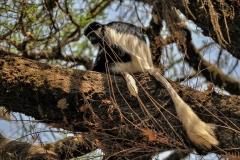 Colobus guereza, colobo bianco e nero orientale, tMetu, Etiopia, Africa; Roberto Nistri fotografo