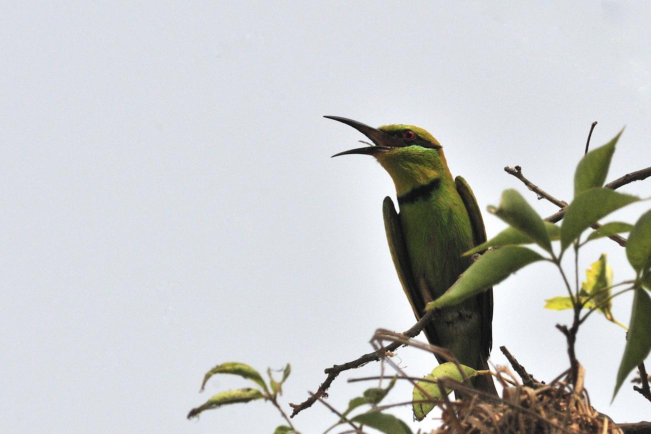 Merops hirundineus, Swallow-tailed Bee-eater, Gambela National Park, Etiopia, Africa, uccelli