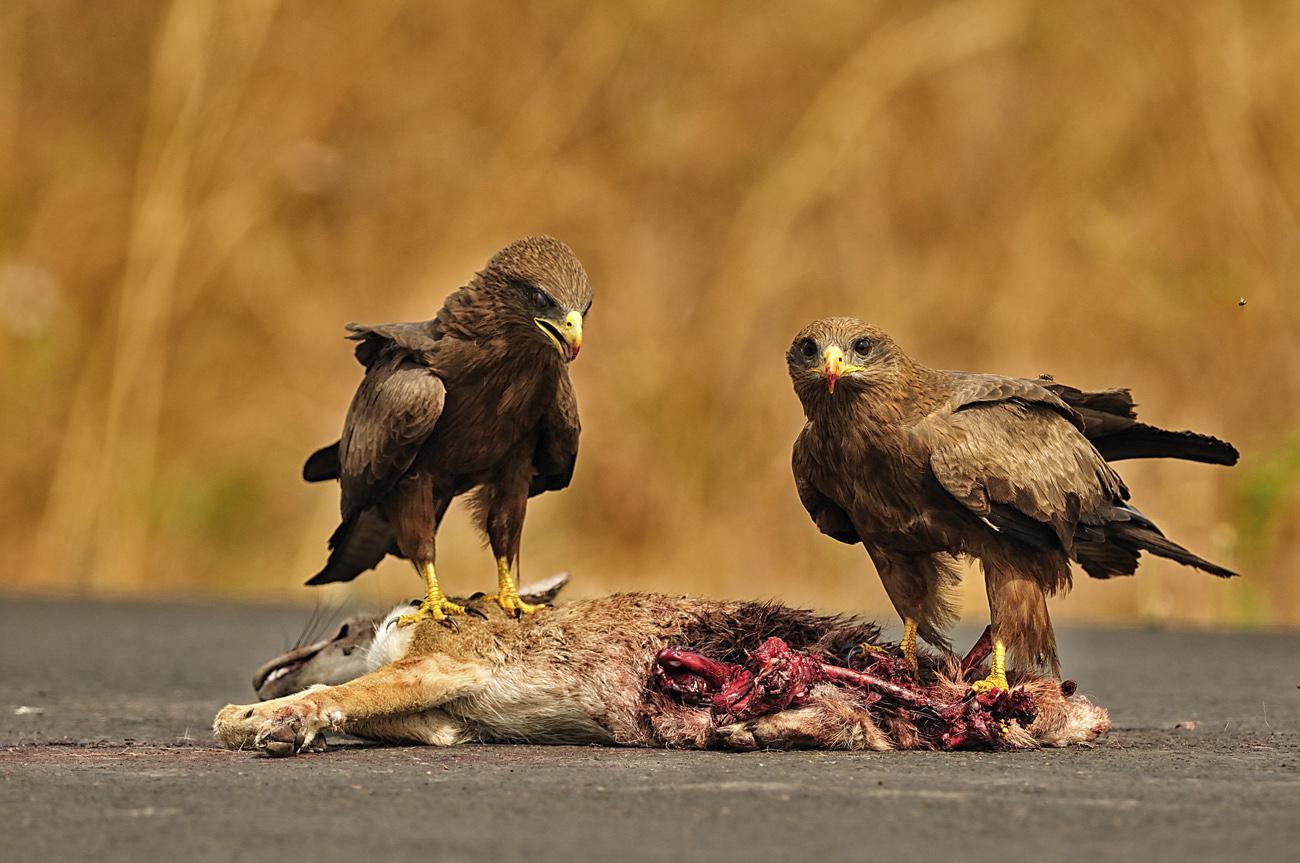 Milvus migrans, nibbio bruno, accipritidi, su carcassa di Canis mesomelas, sciacallo dalla gualdrappa, Gambela, Etiopia, Africa, uccelli rapaci diurni