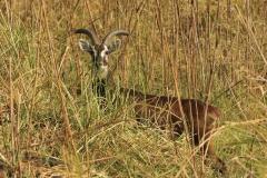 Kobus kob leucotis, antilope kob dalle orecchie bainche, mammiferi, Gambela National Park, Etiopia