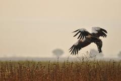 Gru coronate, Balearica pavonina, Gambela, Etiopia, Africa, uccelli