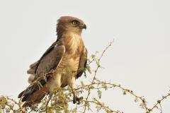 Aquila dei serpenti, Circaetus cinerascens, Gambela National Park, Etiopia, Africa