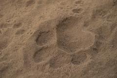 Impronta di tigre del Bengala (Panthera tigris tigris).