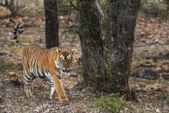 Tigre del Bengala (Panthera tigris tigris).