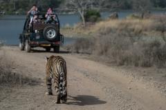 Tigre del Bengala (Panthera tigris tigris) si avvicina a una jeep di turisti.