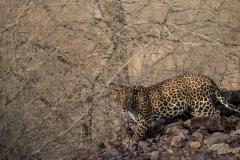 Leopardo indiano (Panthera pardus fusca).